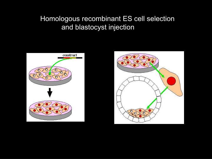 Homologous recombinant ES cell selection