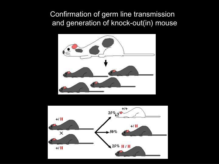 Confirmation of germ line transmission