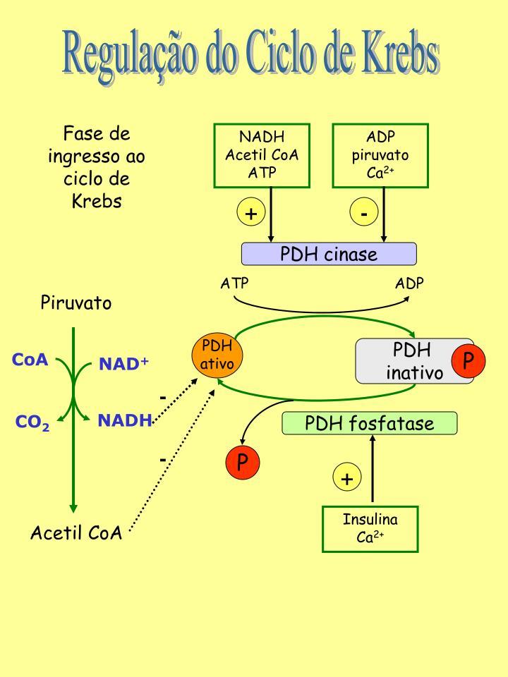 Regulação do Ciclo de Krebs