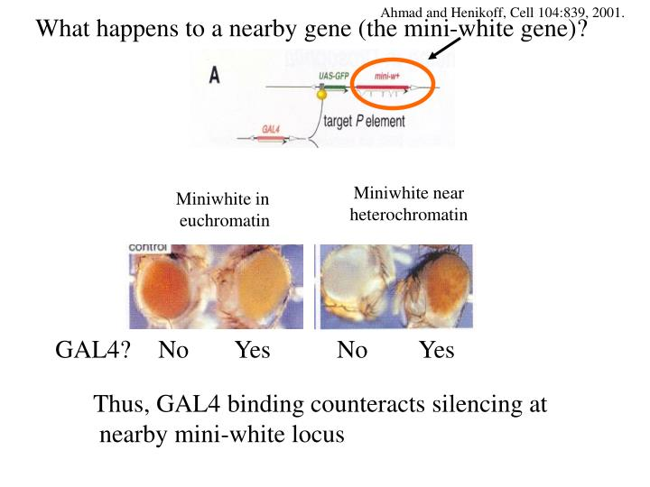 What happens to a nearby gene (the mini-white gene)?