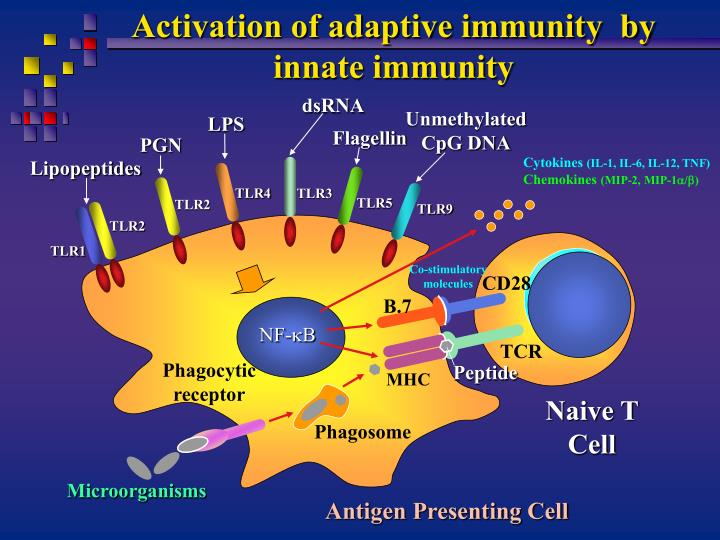 Activation of adaptive immunity  by innate immunity