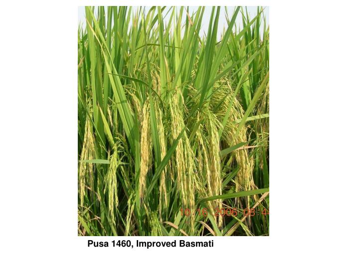 Pusa 1460, Improved Basmati