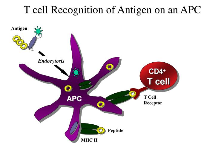 T cell Recognition of Antigen on an APC