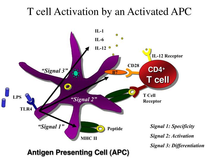T cell Activation by an Activated APC