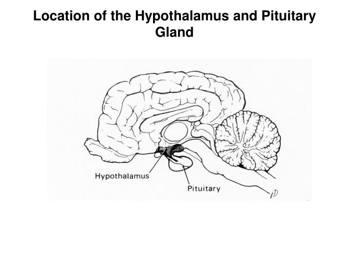 Location of the Hypothalamus and Pituitary Gland