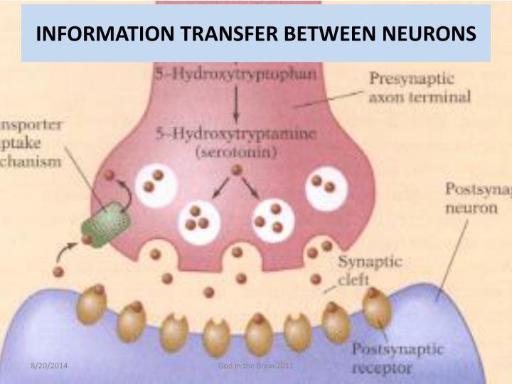 INFORMATION TRANSFER BETWEEN NEURONS