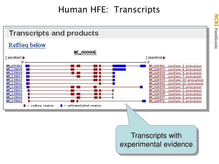 Human HFE:  Transcripts