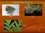 coniferous leaves