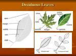 deciduous leaves