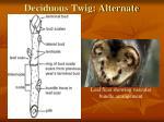 deciduous twig alternate