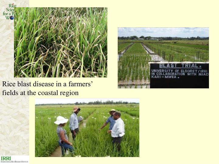 Rice blast disease in a farmers' fields at the coastal region