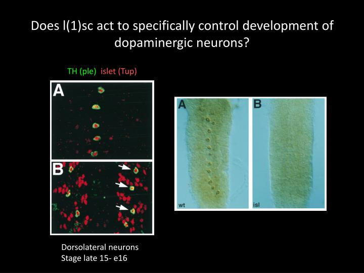 Does l(1)sc act to specifically control development of dopaminergic neurons?