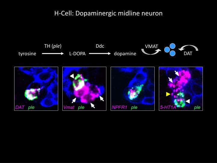 H-Cell: Dopaminergic midline neuron