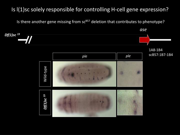 Is l(1)sc solely responsible for controlling H-cell gene expression?