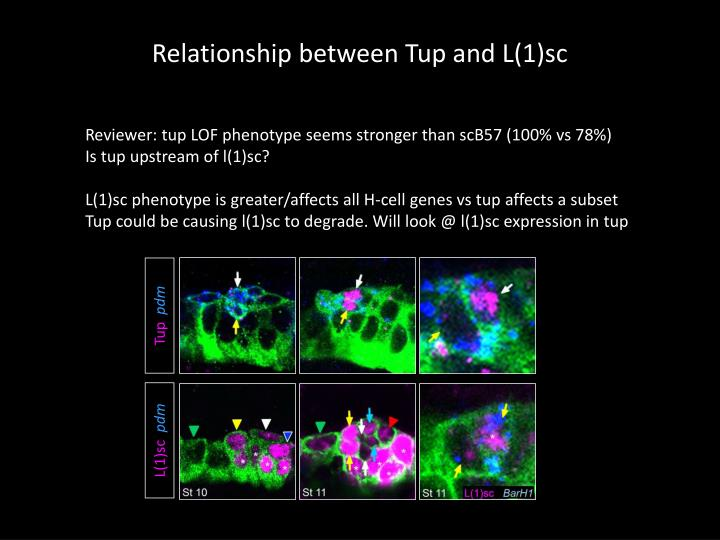 Relationship between Tup and L(1)sc