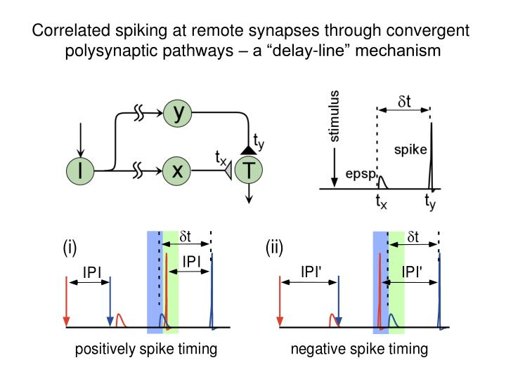 Correlated spiking at remote synapses through convergent