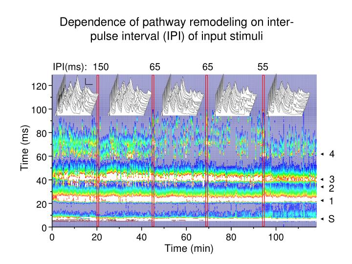 Dependence of pathway remodeling on inter-