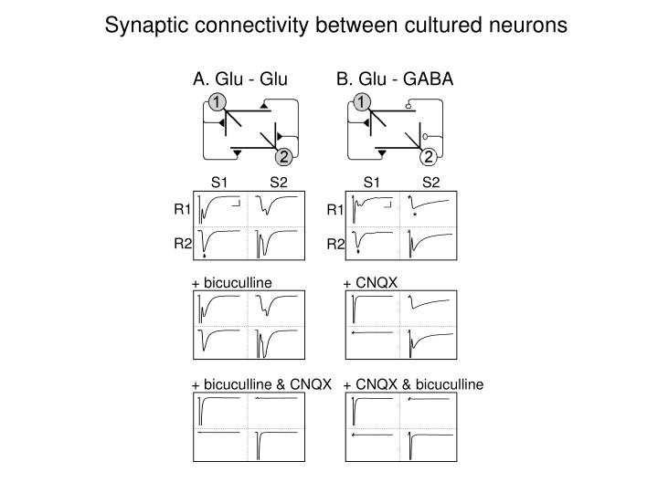 Synaptic connectivity between cultured neurons