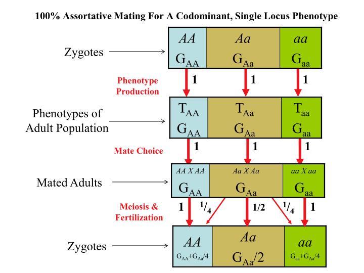 100% Assortative Mating For A Codominant, Single Locus Phenotype