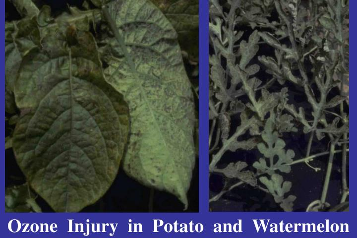 Ozone  Injury  in  Potato  and  Watermelon