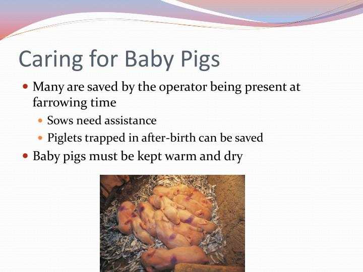 Caring for Baby Pigs