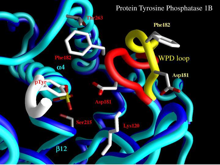 Protein Tyrosine Phosphatase 1B