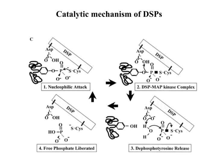 Catalytic mechanism of DSPs
