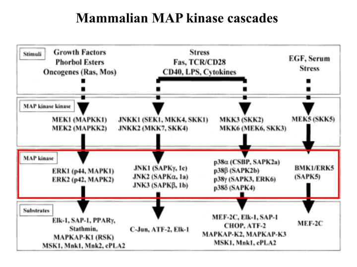 Mammalian MAP kinase cascades