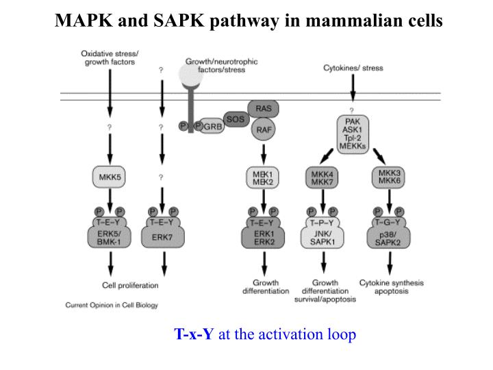 MAPK and SAPK pathway in mammalian cells