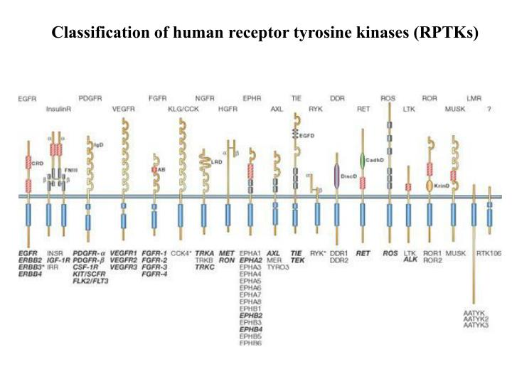 Classification of human receptor tyrosine kinases (RPTKs)
