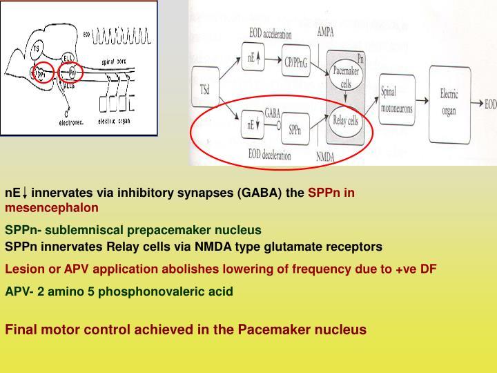 nE   innervates via inhibitory synapses (GABA) the