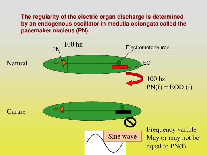 The regularity of the electric organ discharge is determined by an endogenous oscillator in medulla oblongata called the pacemaker nucleus (PN).