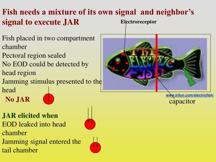 Fish needs a mixture of its own signal  and neighbor's signal to execute JAR