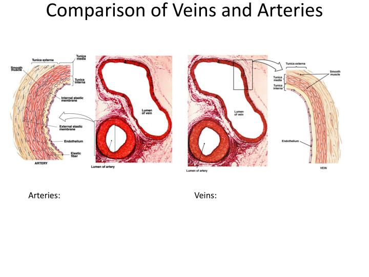 Comparison of Veins and Arteries