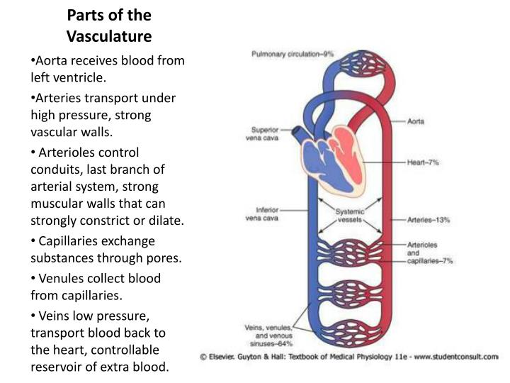 Parts of the Vasculature