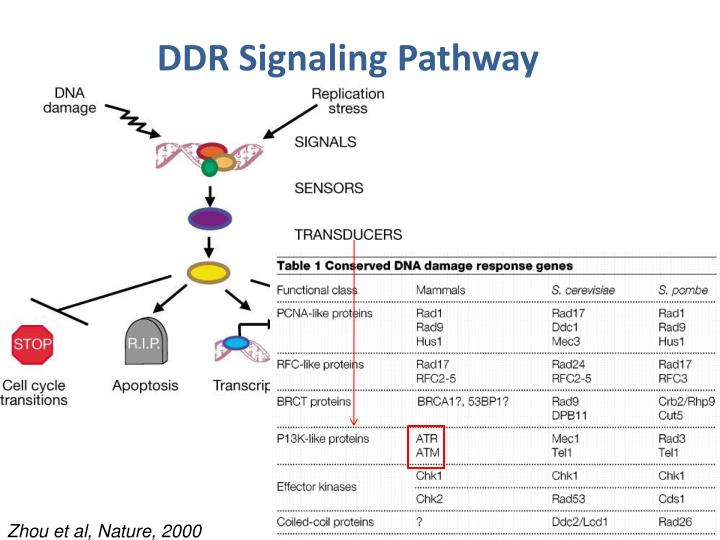 DDR Signaling Pathway