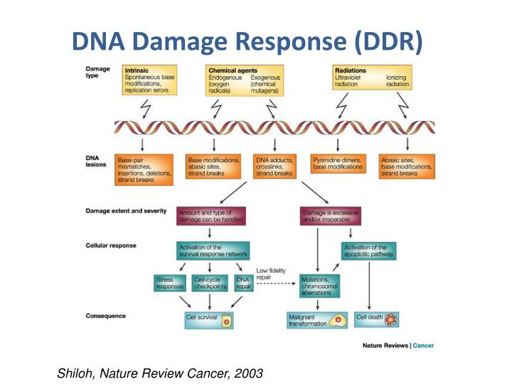 DNA Damage Response (DDR)