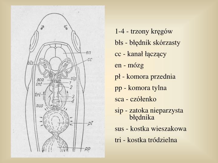 1-4 - trzony kręgów