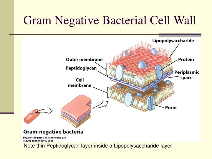 Gram Negative Bacterial Cell Wall