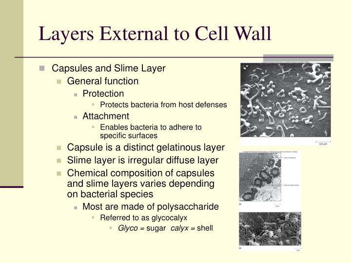 Layers External to Cell Wall