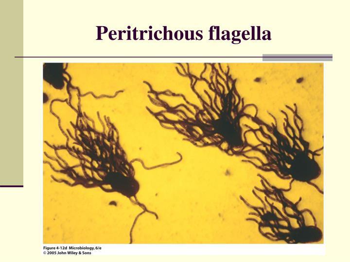 Peritrichous flagella
