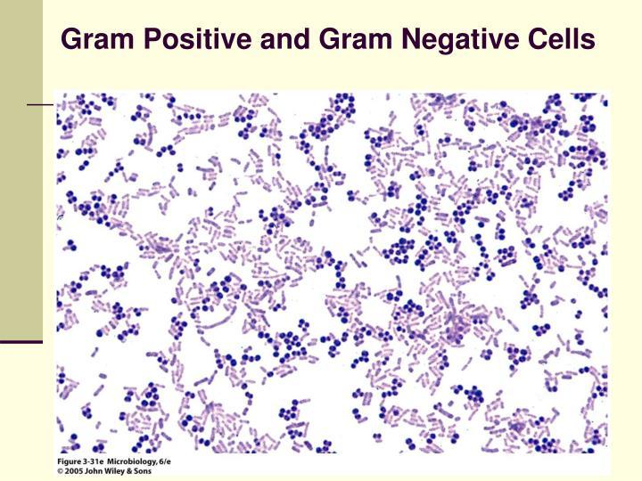 Gram Positive and Gram Negative Cells