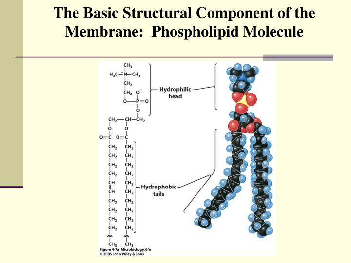 The Basic Structural Component of the Membrane:  Phospholipid Molecule