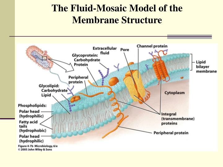 The Fluid-Mosaic Model of the