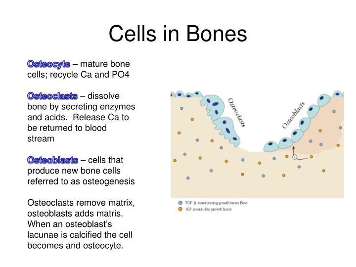 Cells in Bones