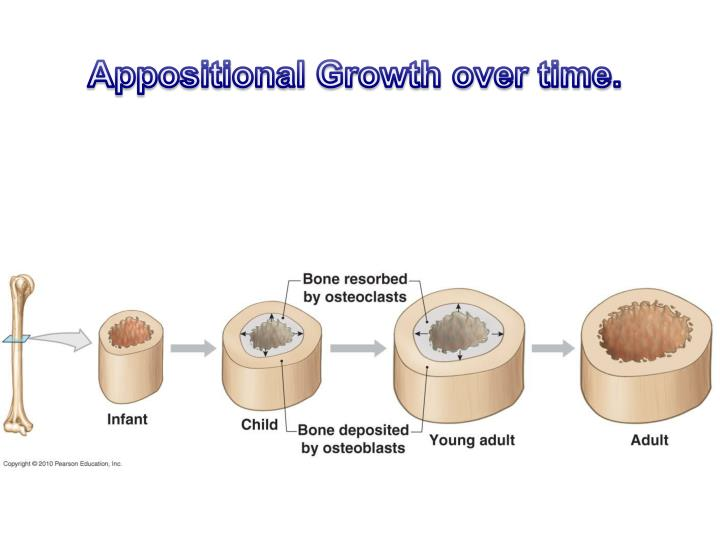 Appositional Growth over time.