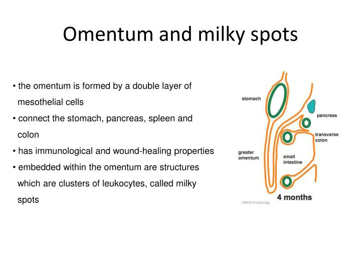 Omentum and milky spots