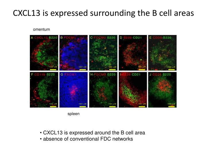 CXCL13 is expressed surrounding the B cell areas