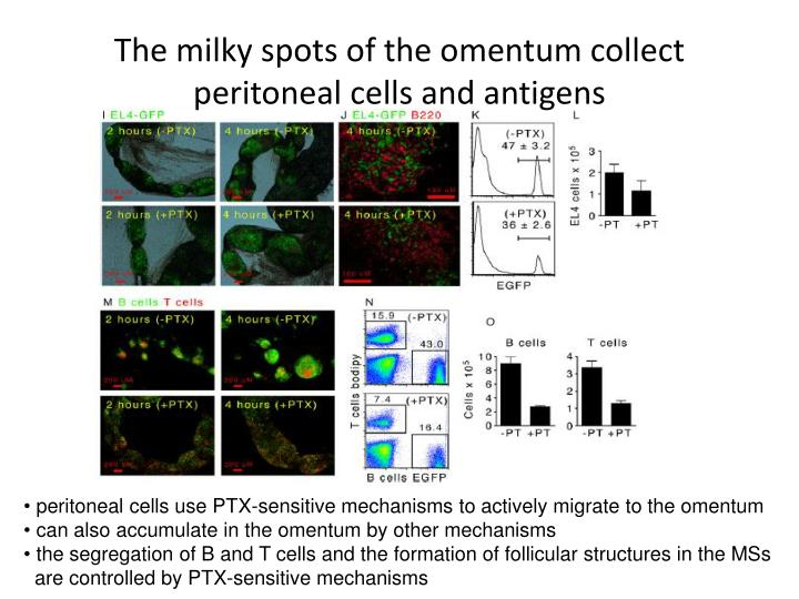 The milky spots of the omentum collect peritoneal cells and antigens