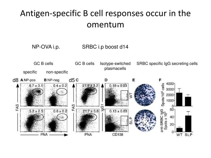 Antigen-specific B cell responses occur in the omentum